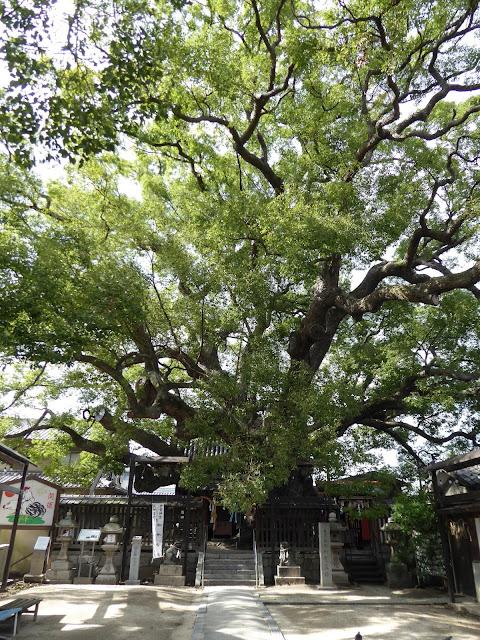 薫蓋樟(三島神社)
