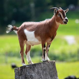 Miscellaneous999: 【動物書房】沒那麼簡單的山羊