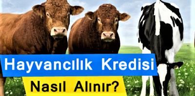 5 Yıl Geri Ödemesiz Hayvancılık Kredisi Nasıl Alınır?