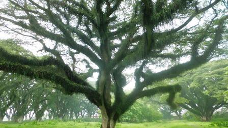 Pohon trembesi di Djawatan Benculuk, Kabupaten Banyuwangi.