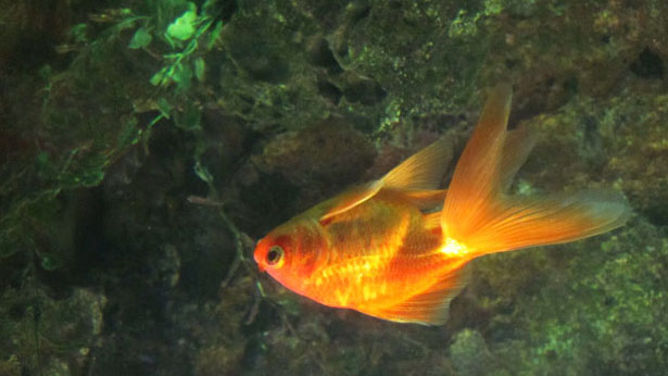 Cara Mengobati Ikan Koki Berenang Terbalik