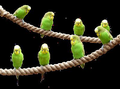 Venta de semillas de Alpiste y alimentos para aves pajaros y pericos que comen en mazatlan cd obrejon y jaulas