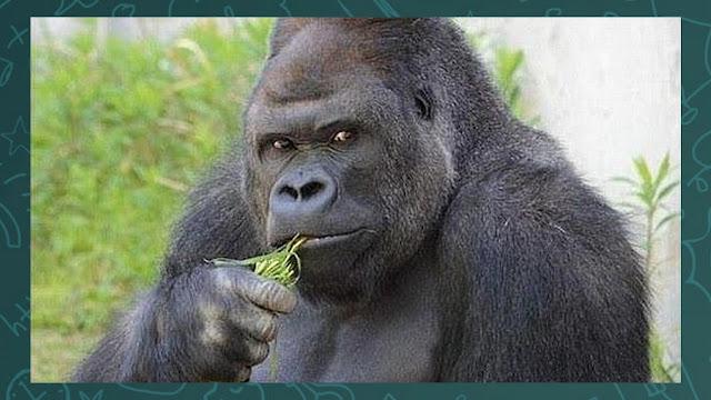 Gorila puxando um fuzil