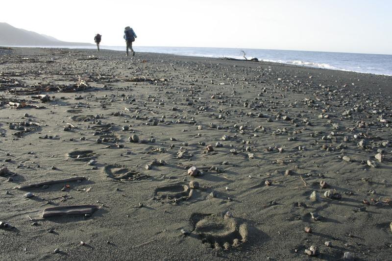следы медведя берег тихого океана камчатка