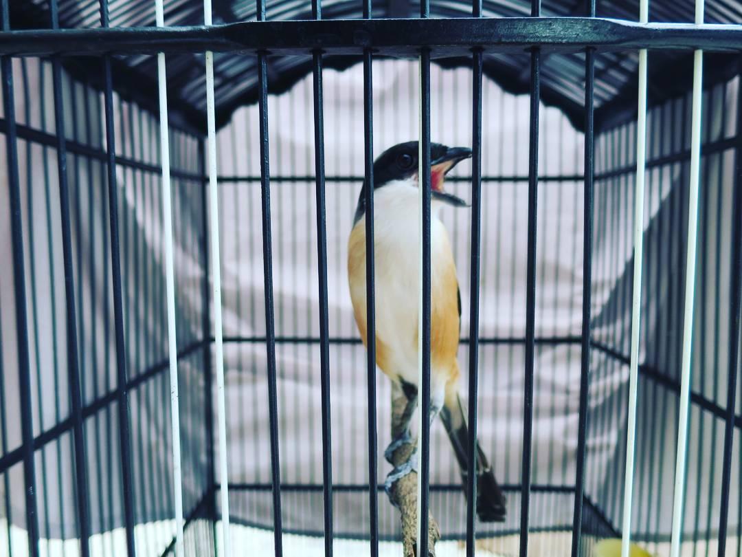 cara merawat burung cendet   zona burung