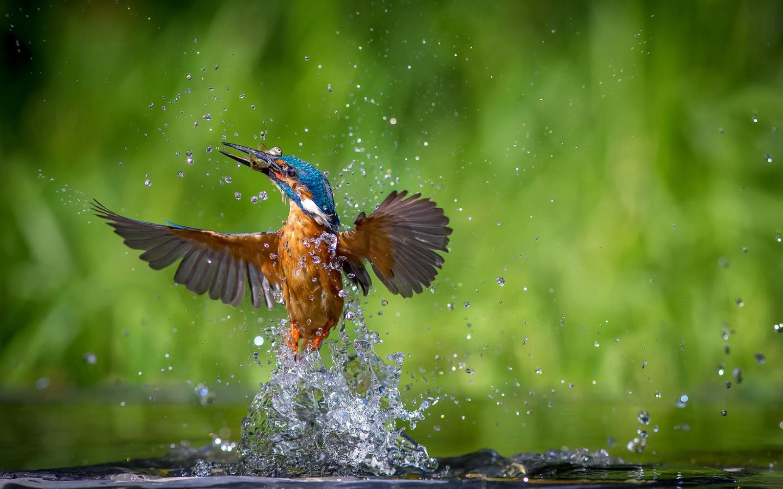 foto ijsvogel water