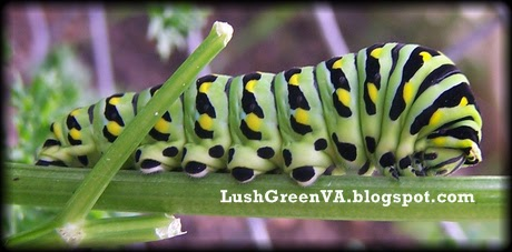lushgreenva the loved  hated parsley worm otherwise