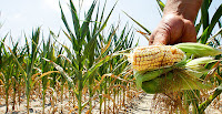 n Illinois farmer holds a piece of his drought- and heat-stricken corn while chopping it down for feed during the summer of 2012. The drought that year that hit the Great Plains was the worst in recorded U.S. history. (Photo Credit: Seth Perlman / AP Images) Click to Enlarge.