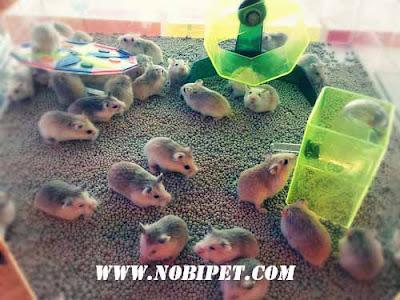 Bán Chuột Hamster Thái Lan tại Đà Nẵng