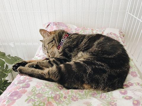 エビのポーズで寝ているキジトラ猫