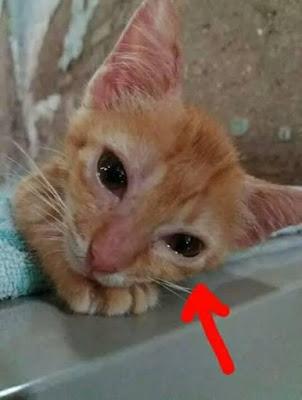 Di atas yaitu foto seekor kucing yang sedang bersedih Mengapa Aku Disiksa Bu?