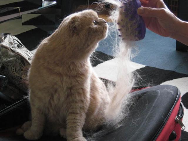 Tips Mengatasi Bulu Kucing Angora Rontok