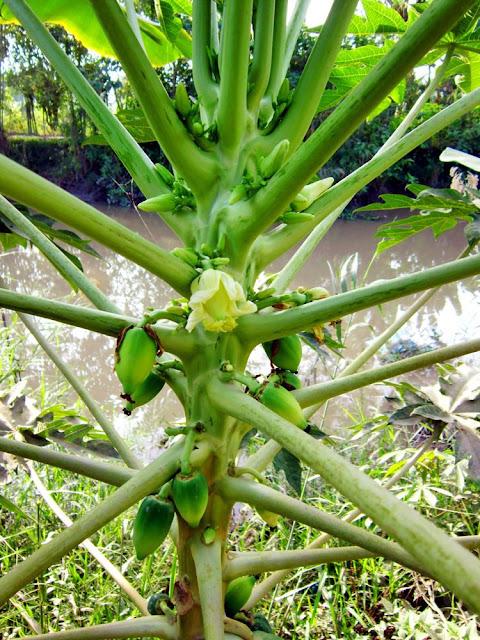 Hoa và quả Đu Đủ - Carica papaya - Nguyên liệu làm thuốc Chữa Bệnh Tiêu Hóa