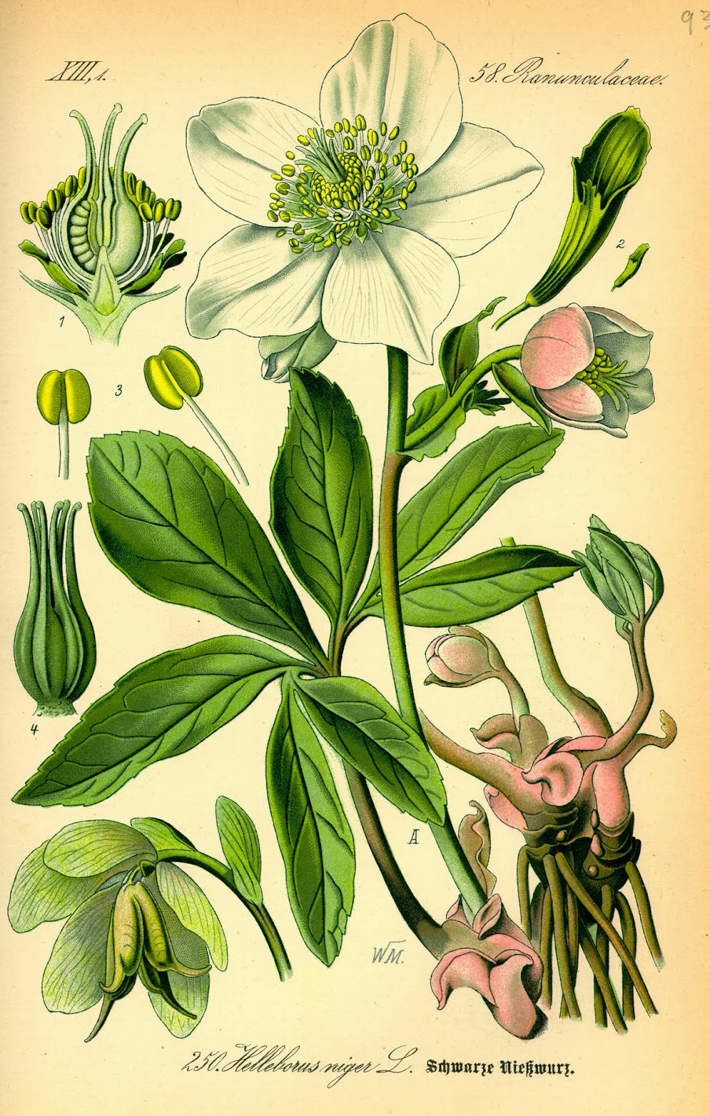 botanical illustration of white flowered hellebore