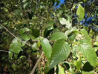 Alnus acuminata var. arguta, Aliso