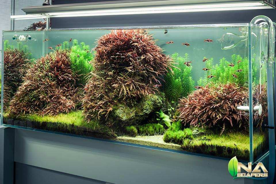 Cây liễu răng cưa tuyệt đẹp torng bể thủy sinh