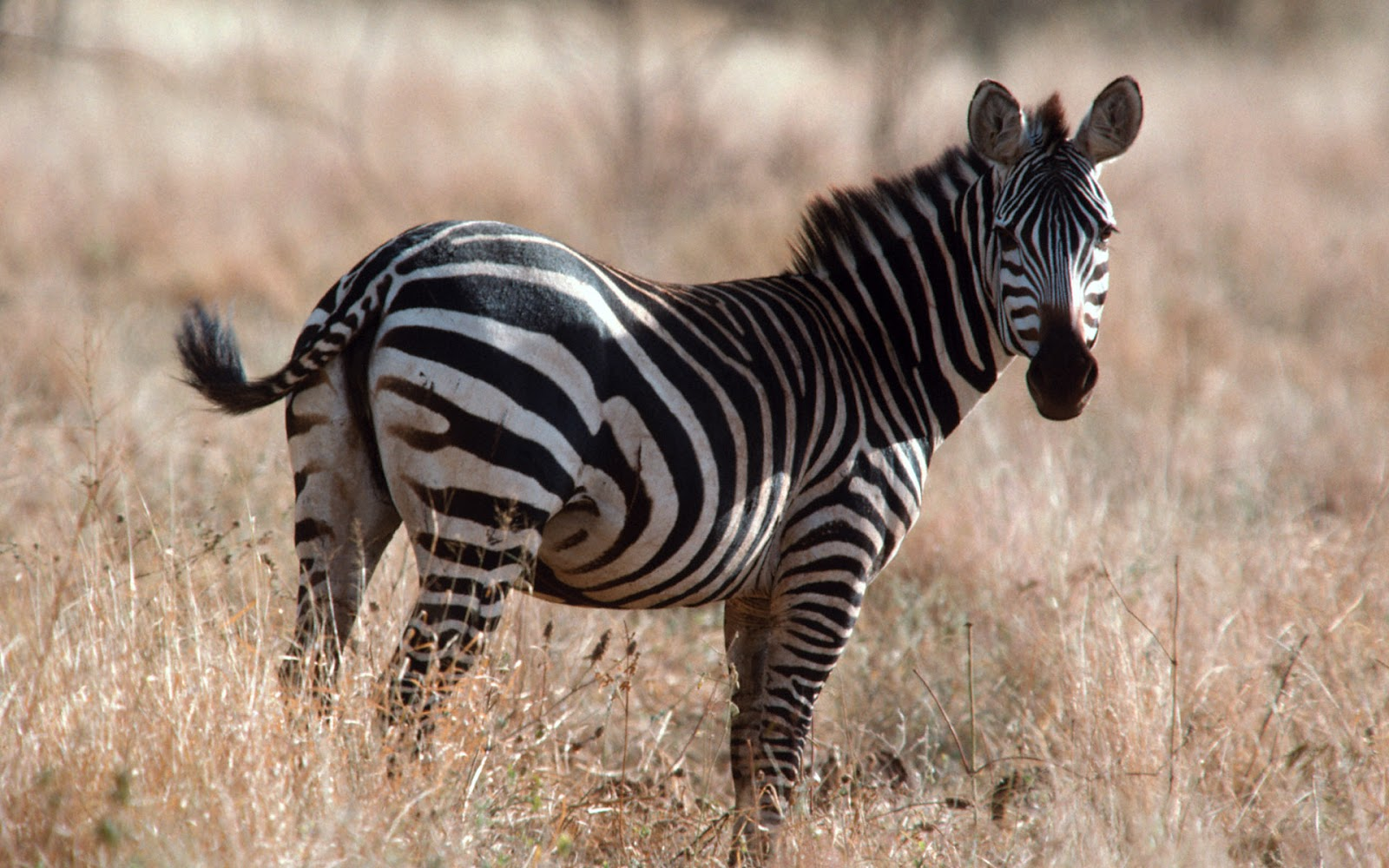 zebra zebras african animal facts wildlife photographs whinny eat