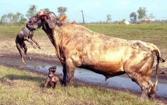 Apabila Anjing Lapar Menyerang Lembu