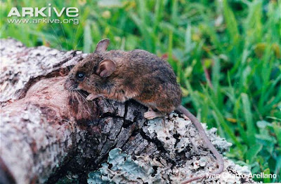 Ratón ciervo del Carrizo Peromyscus ochravente