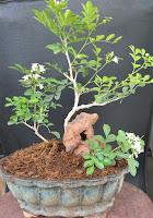murraya exotica shaping and wiring bonsai