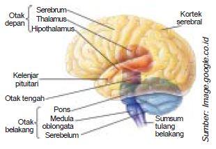 Fungsi Otak, Sumsum Tulang Belakang, Sistem Saraf Simpatik, Parasimpatik, Otonom, 12 Pasang Saraf Kranial dan 31 Pasang Saraf Spinal Pada Sistem Saraf Pusat dan Saraf Tepi (Perifer)