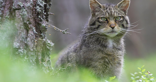 Crucial work to help save Scottish wildcats