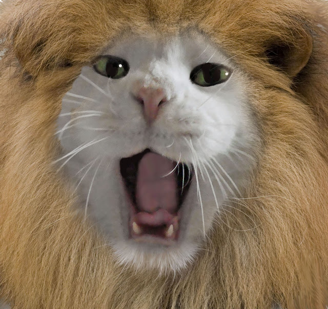 domestic cat dressed up as lion roaring