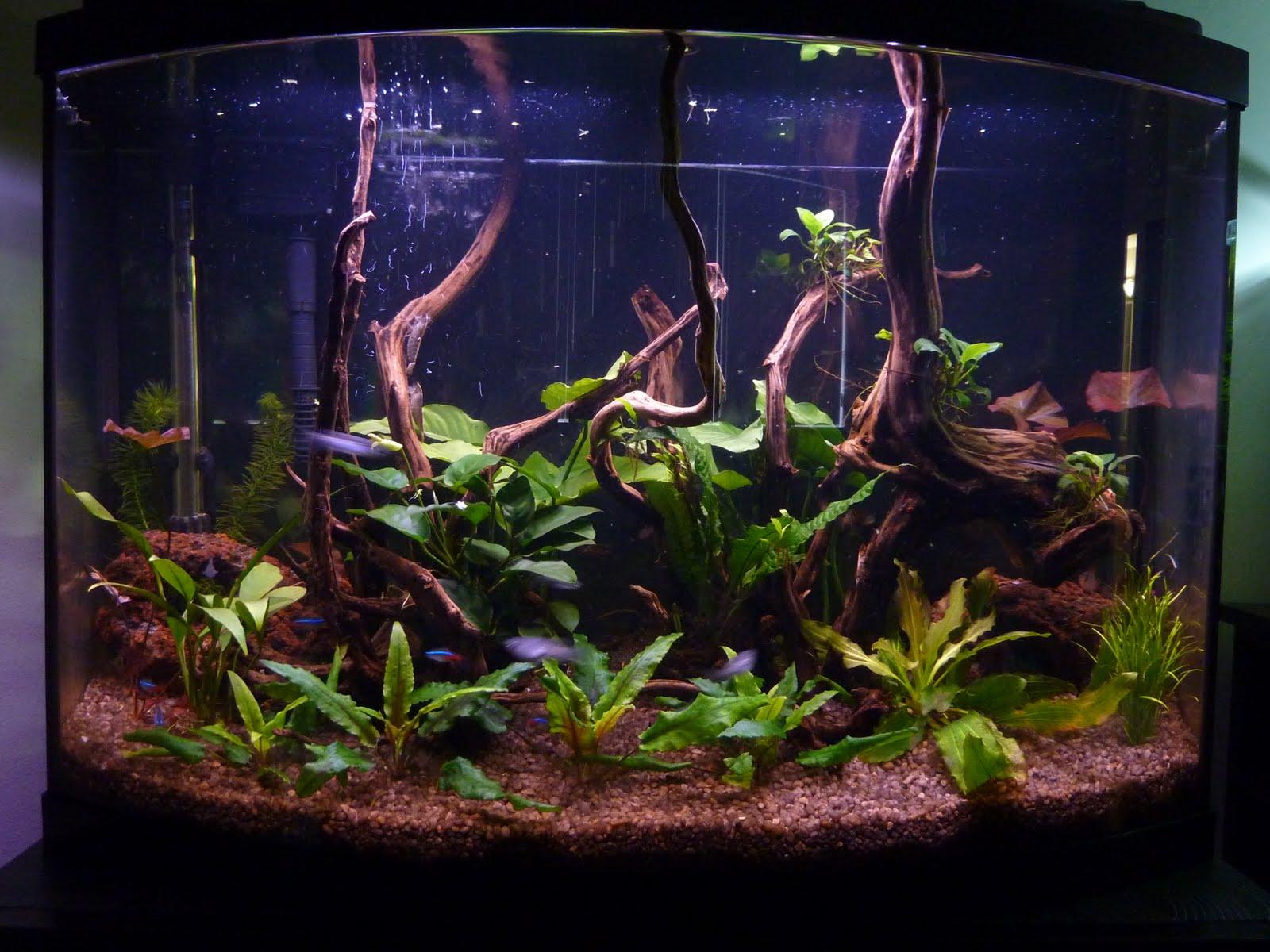 10 Gallon Neon Tetra Tank Fish: 7 x neon tetra,