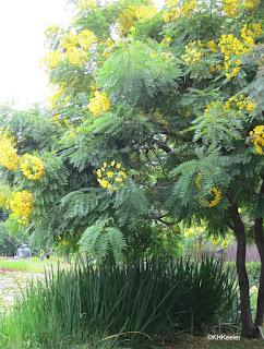 Golden shower tree, Cassia sp.