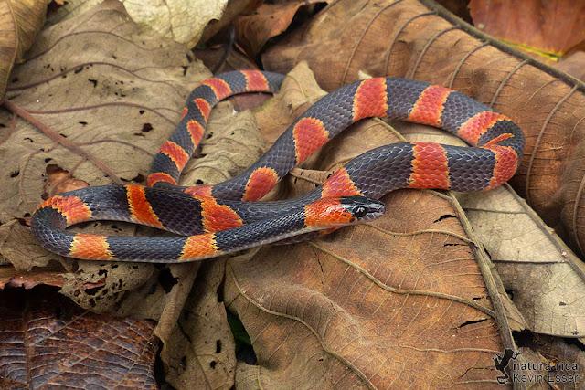 Oxyrhopus petolarius - False Coral Snake