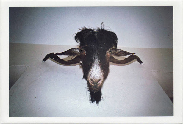 dirty photos - noah's ark fauna photo of cut goat's head on a wall in crete
