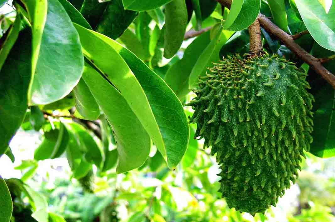 Benefits of Soursop Leaves for Health ~ toreeswarroom