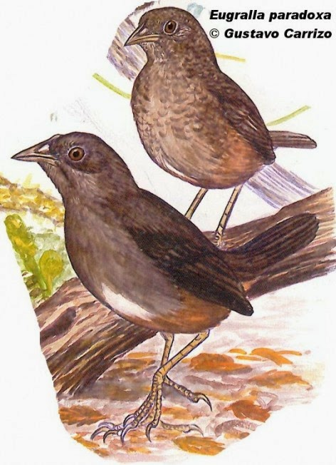 Ochre flanked Tapaculo