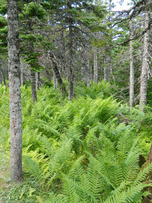 Fern filled forest floor at the Skyline Trail Cape Breton Highlands National Park by garden muses-not another Toronto gardening blog
