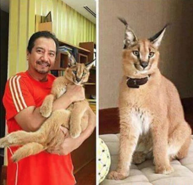 Tahu Tak Berapa Harga Kucing Eksotik yang Sultan Mizan Dukung Ini?