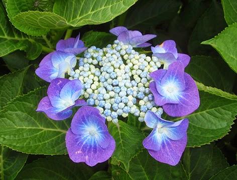 Hortensia Lace Caps que ha virado a azul