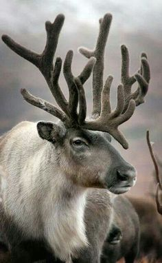 Reindeer, or caribou, can outperform all other land animals in their energy efficiency
