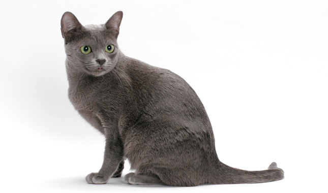 Korat - Most Beautiful Cats