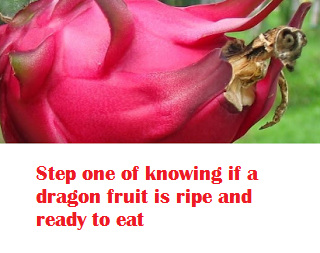 Step one of knowing if a dragon fruit is ripe and ready to eat