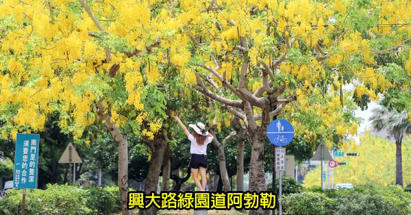 台中南區|興大路綠園道阿勃勒|黃金阿勃勒大道|散步賞黃金雨