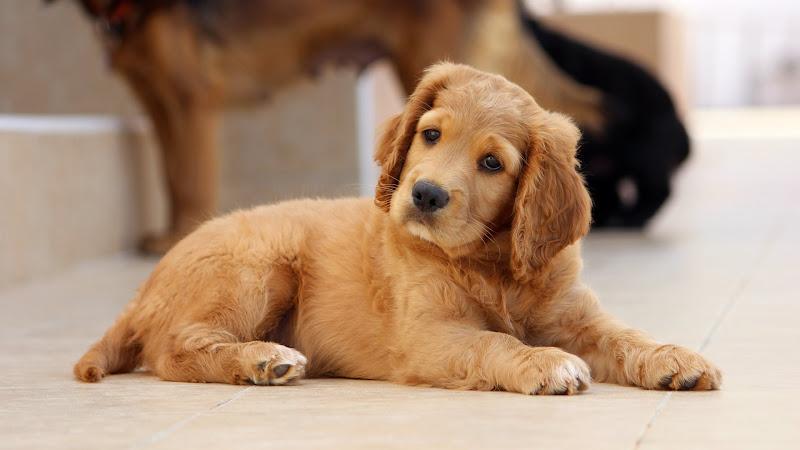 Adorable Puppy HD