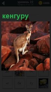 По оранжевым камням скачет небольшого роста кенгуру, оборачиваясь назад