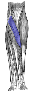 pronator teres muscle, picture