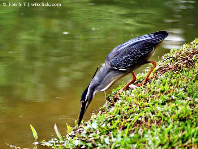 Little Heron hunting for food