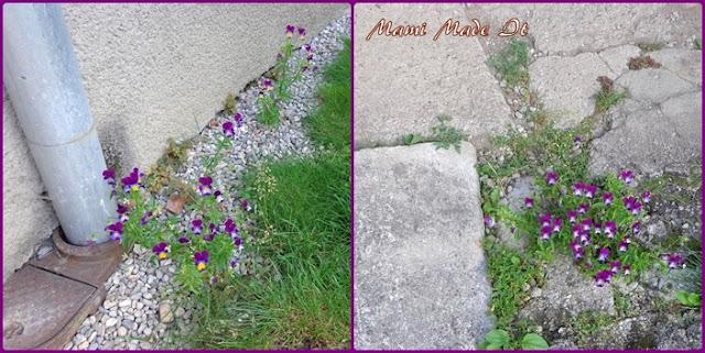 Hornveilchen - horned violets - Viola cornuta