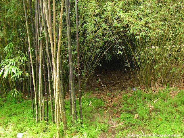 Ботанический сад Сингапура - бамбуковая роща