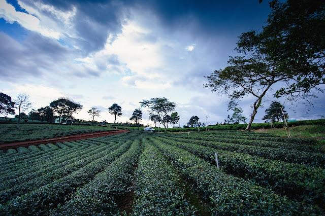 Khám phá đồi trà Tâm Châu Bảo Lộc