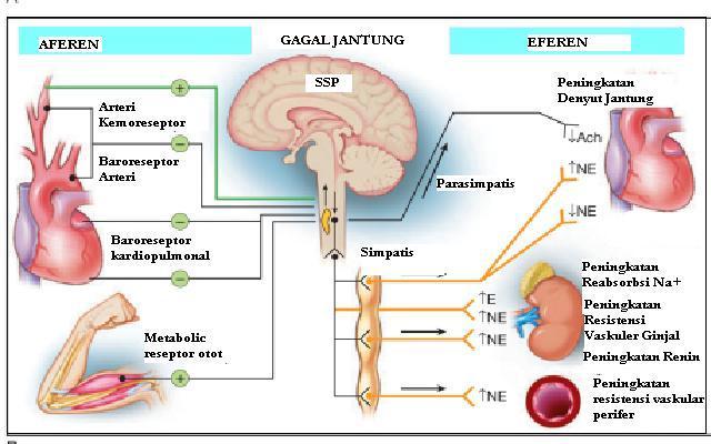 Mekanisme Aktivasi Sistem Syarat simpatik parasimpatik pada gagal jantung