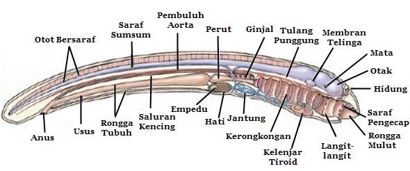 belut lamprey