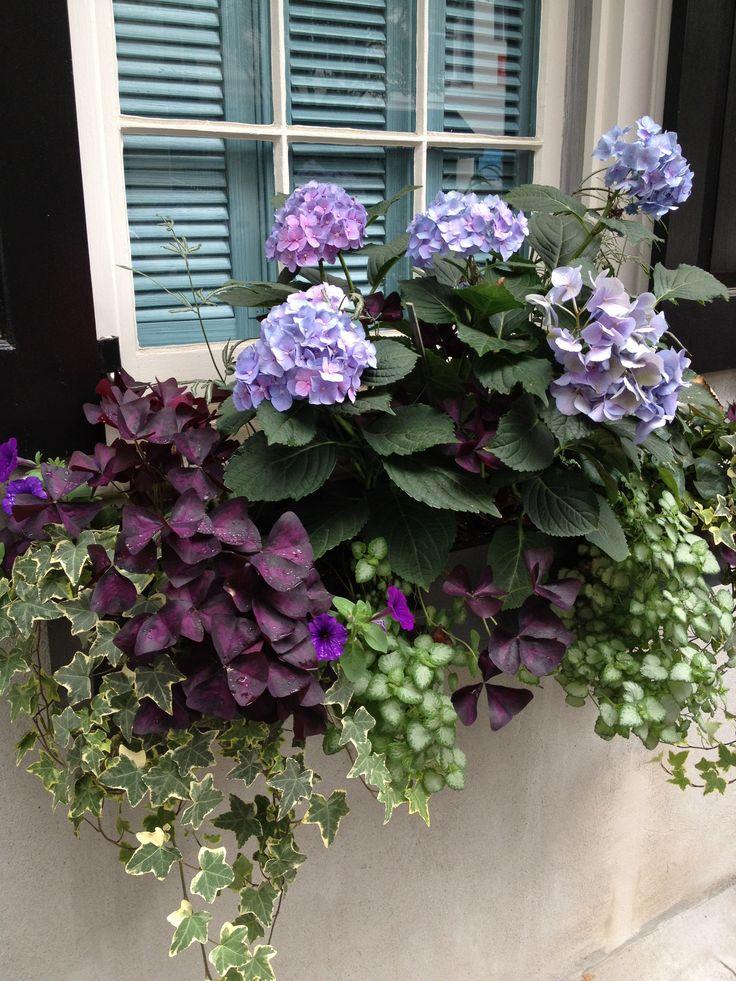 Hojas púrpura de Oxalis triangularis combinada con hiedra y otras especies de plantas